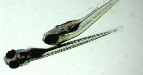 quantum-dots-toxicity-zebrafish-larvae