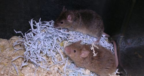 social-behavior-of-fragile-x-mice