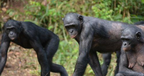 social-tolerance-bonobos