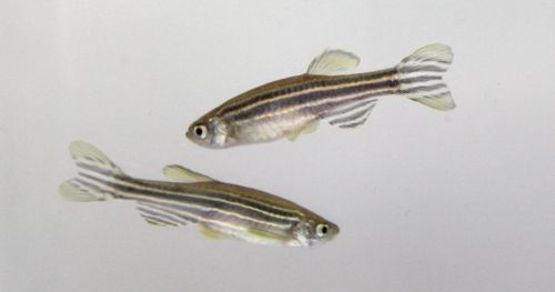 test-hallucinogens-on-zebrafish
