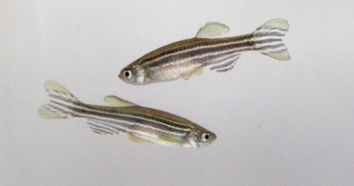 testing-pcbs-toxicity-behavior-zebrafish