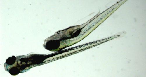 tracking-zebrafish-in-3D