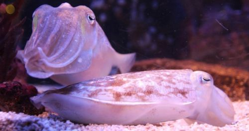 video-tracking-cuttlefish