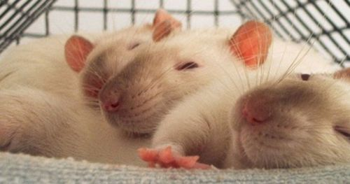 why-rats-help-other-rats
