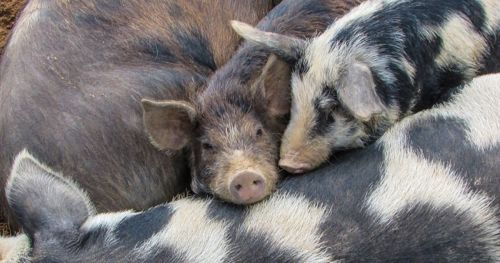 why-social-pigs-do-better