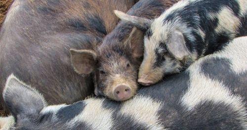 why-social-pigs-do-better