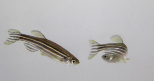 zebrafish-and-optogenetics
