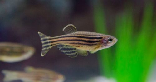 zebrafish-behavioral-differences