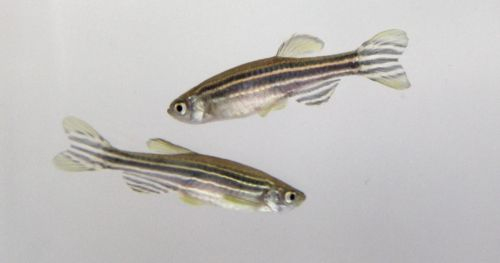 zebrafish-behavioral-research