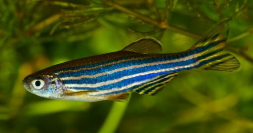 zebrafish-research-south-america