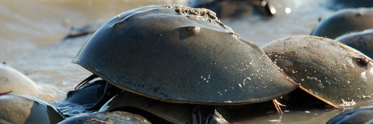 Ticking clocks – tides and activity peaks in American horseshoe crabs