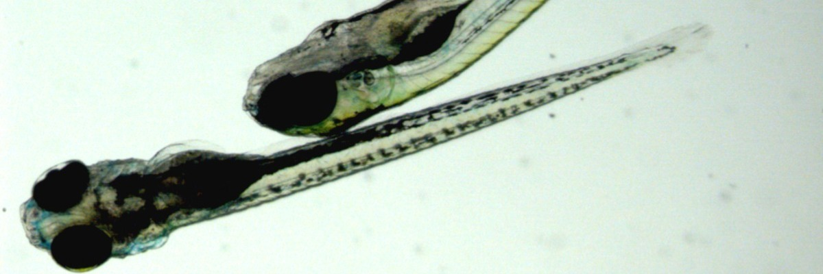 Tracking zebrafish in 3D