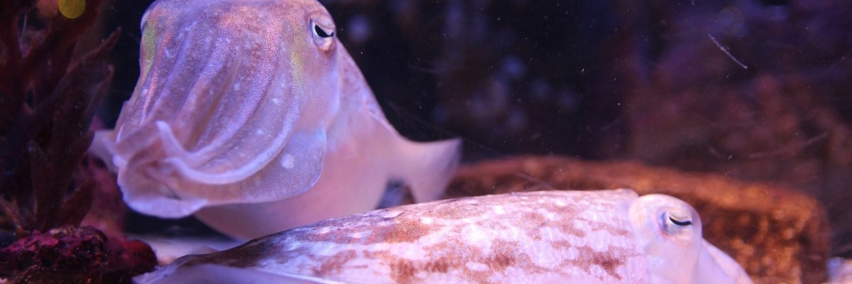 How to unravel the long-term memory of cuttlefish: automated video tracking
