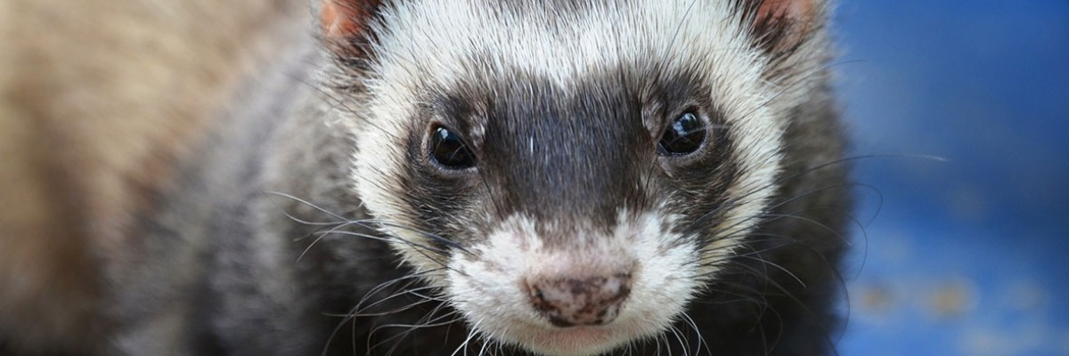 Video-tracking the effect of influenza infection on ferrets