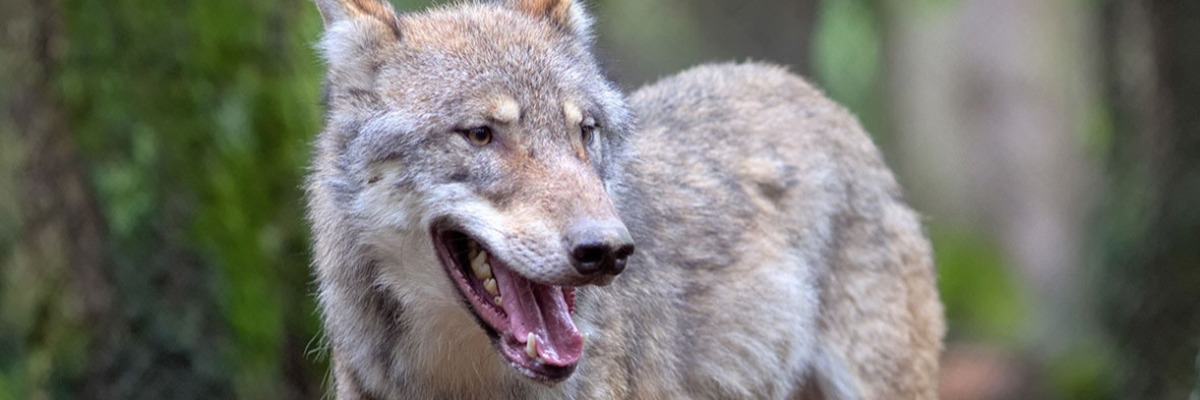 Why wolves cry out for their friends