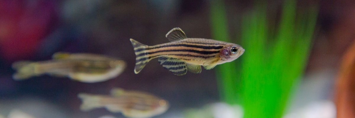 Zebrafish research: behavioral differences between wild-type strains