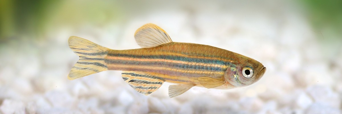 Zebrafish with Parkinson's