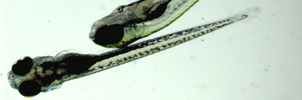 Strain differences in zebrafish behavior and physiology