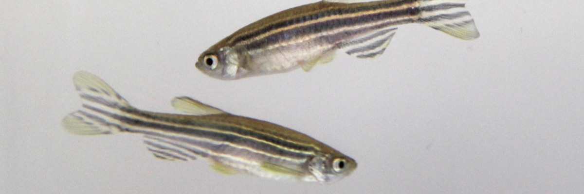 Zebrafish tracking to uncover subtle effects of embryonic alcohol exposure