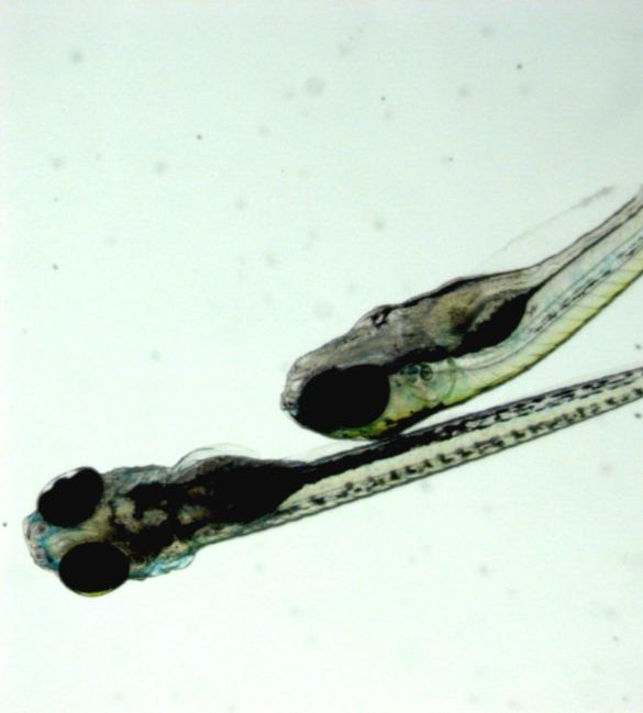 Tools for Optogenetics in zebrafish