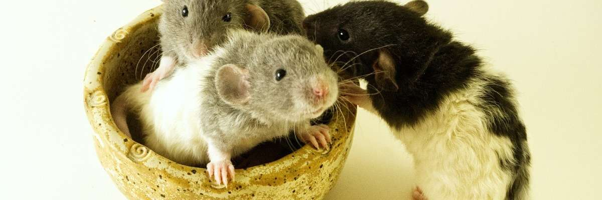 Altruism in rats, suspiciously human