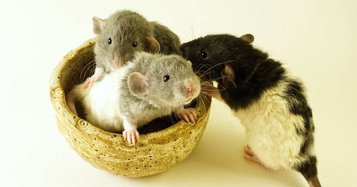 altruism-in-rats