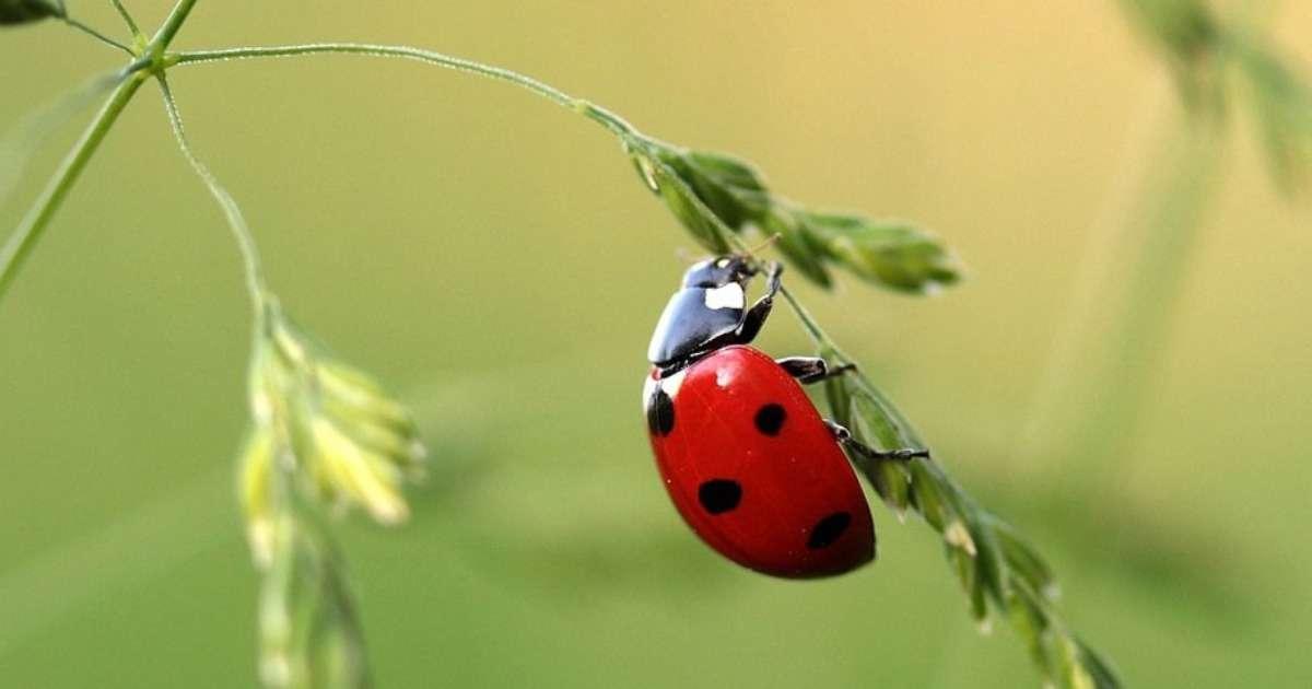 aphid-predators