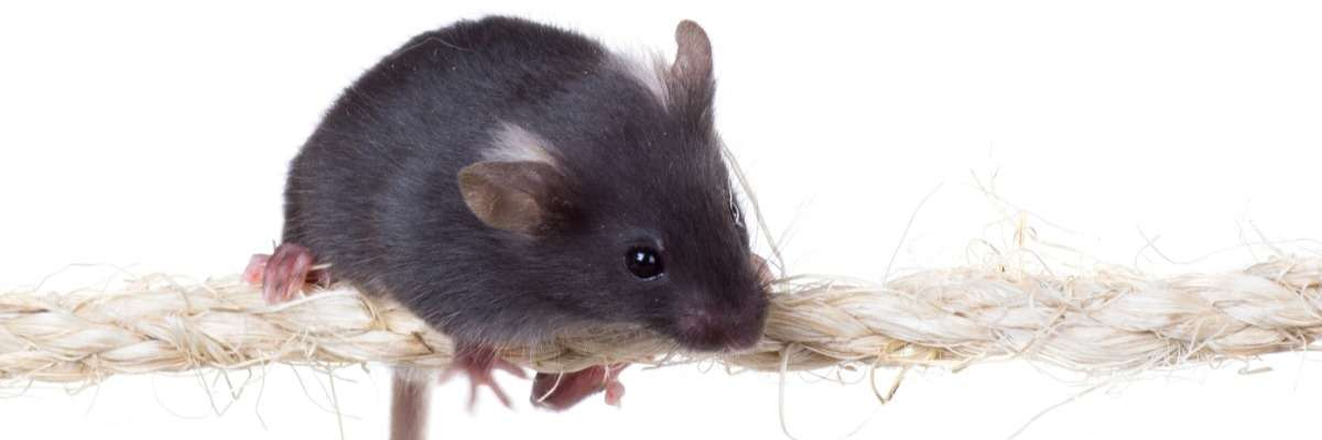 Assessing motor deficits in mice following traumatic brain injury