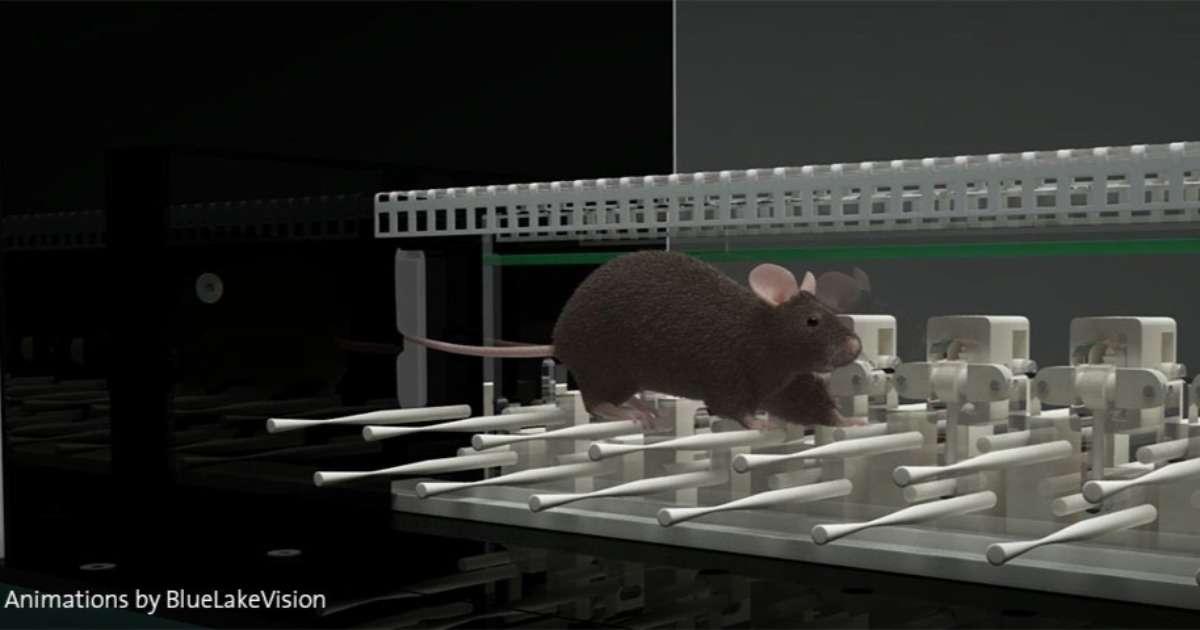 autistic-mice-cerebellum