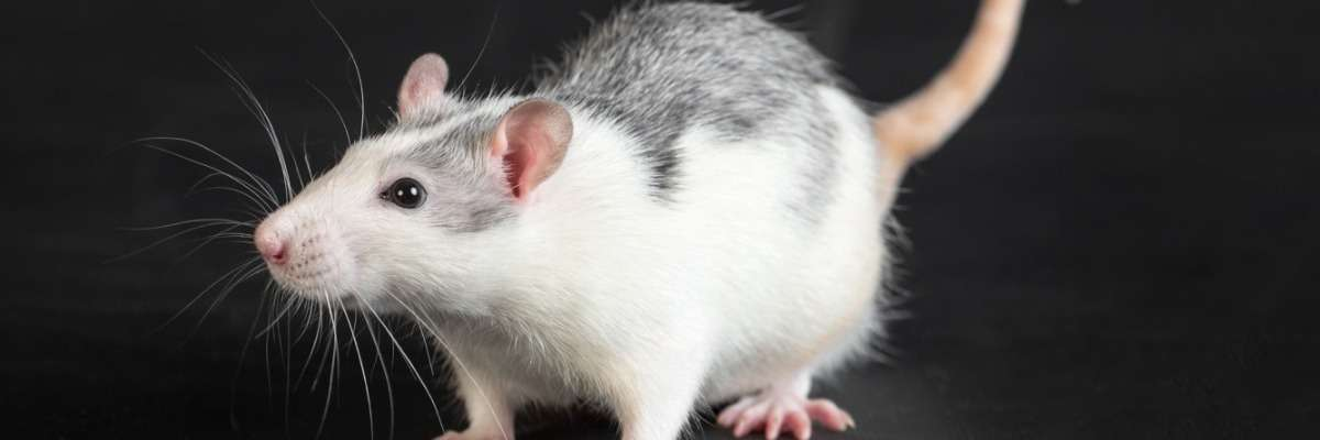 How Automatic Rat Behavior Recognition was developed