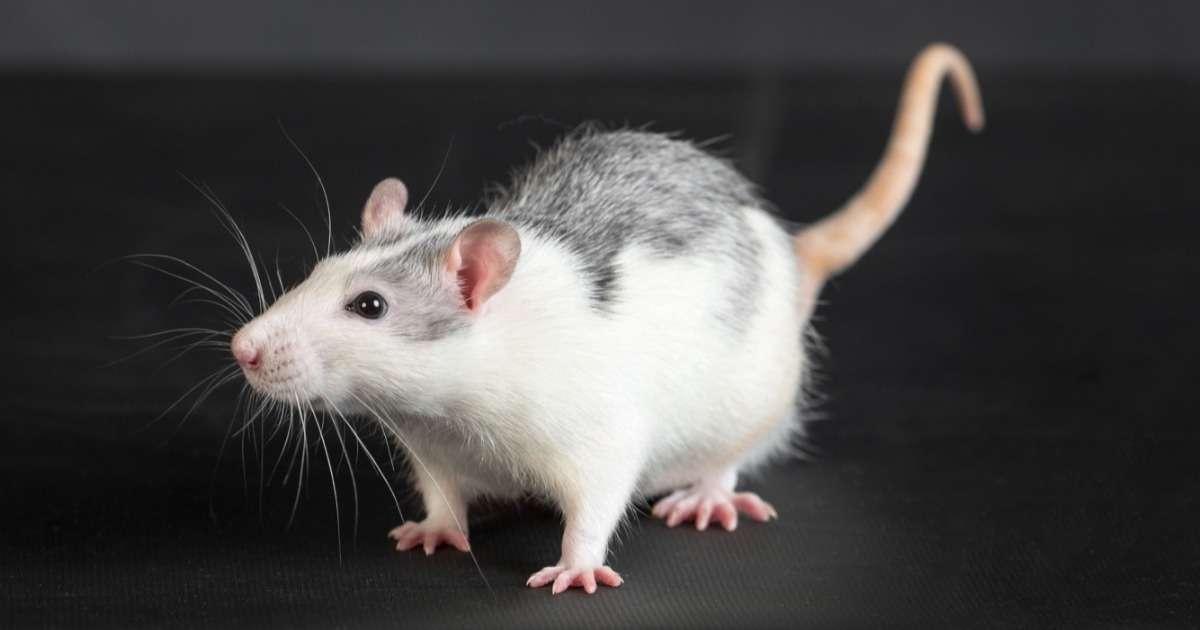 automatic-rat-behavior-recognition