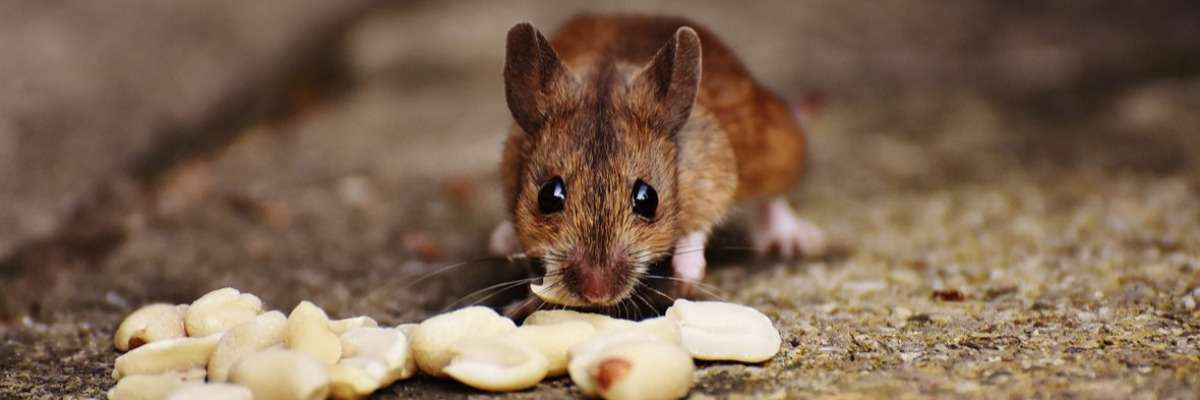Mimicking human decision-making in a mouse model
