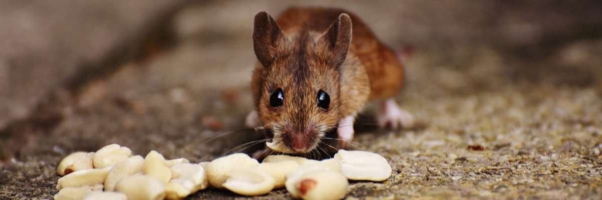 Motivation and eating: deep brain imaging in freely moving mice