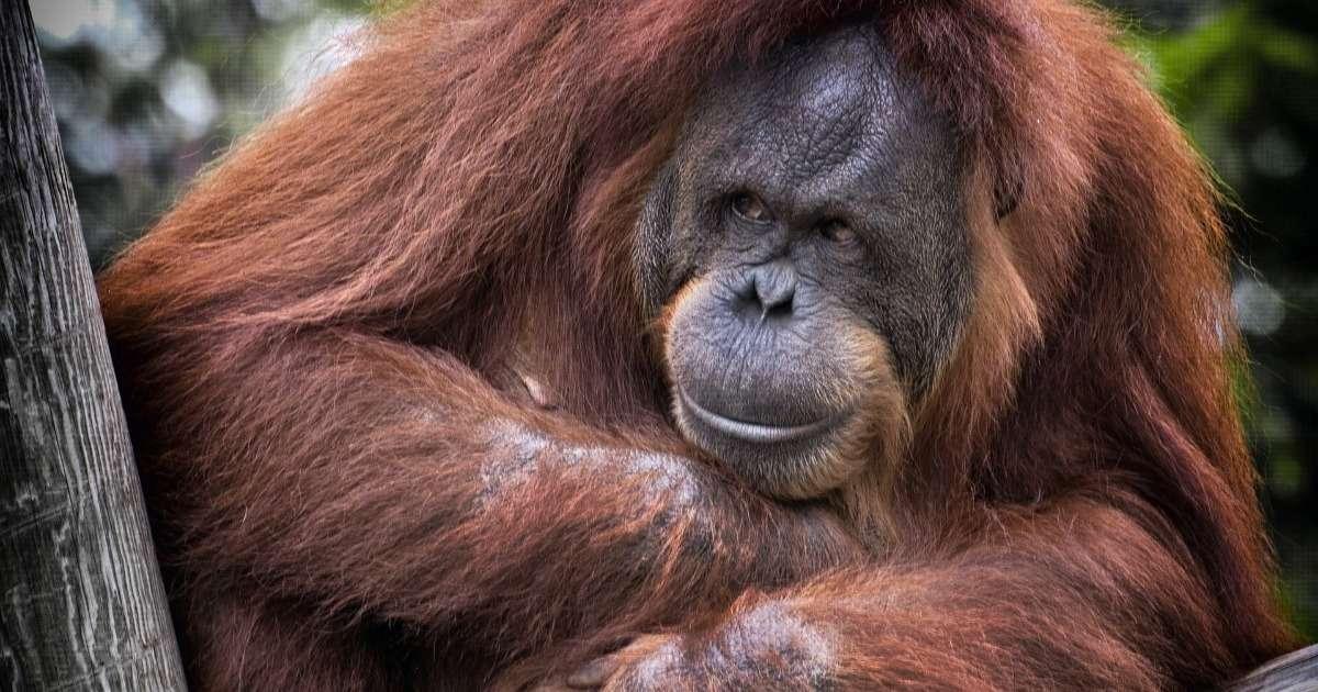 digital-interactive-enrichment-apes