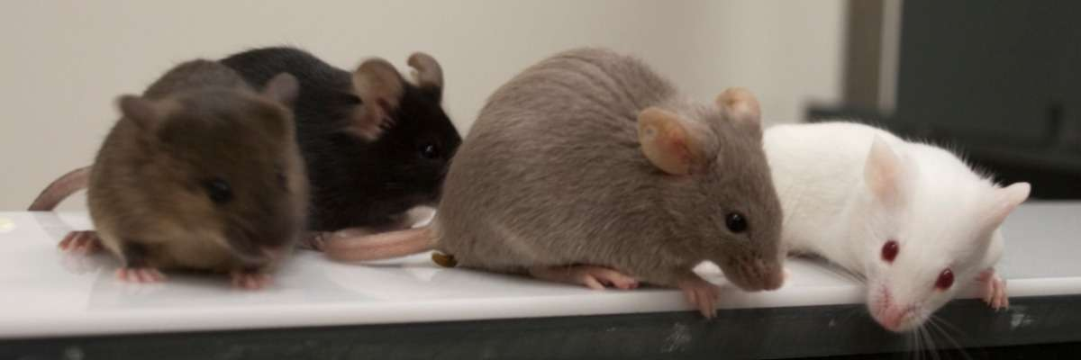 Drunken mice get aggressive on Alzheimer's drugs