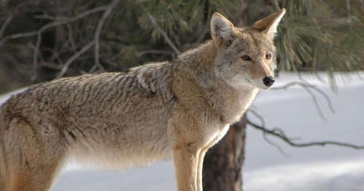 effect-social-hierarchy-coyotes