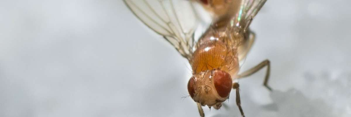 Walking in circles - the exploratory activity of Drosophila