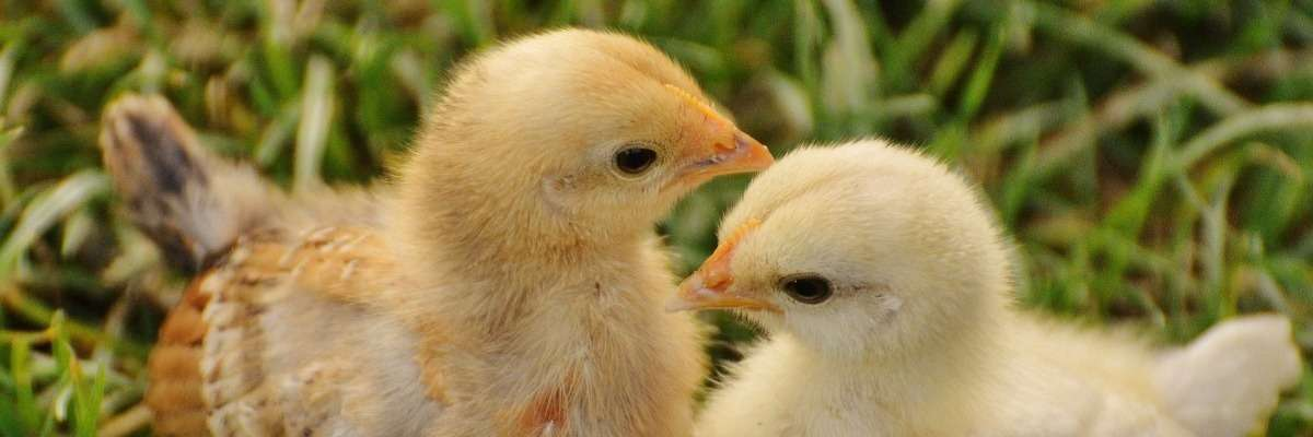 Fearful chicken: Fear affects stress, behavior patterns, and other individuals