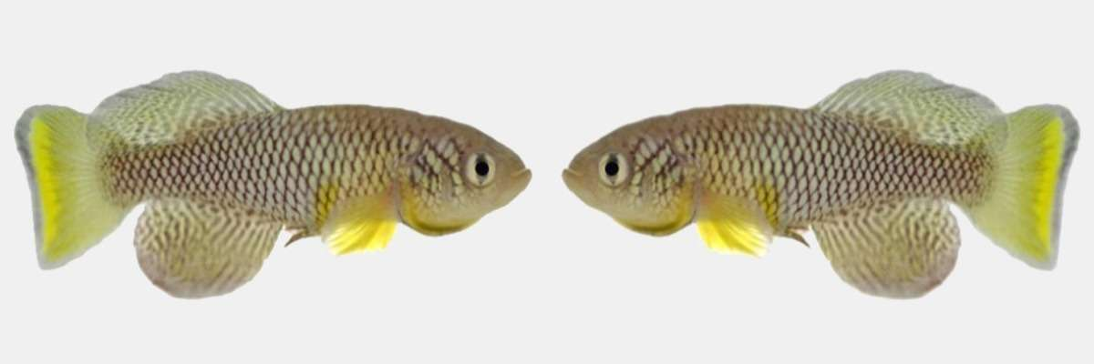"""Fish live longer and are more active after eating """"young poo"""""""
