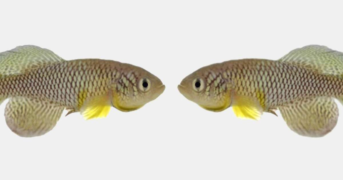 fish-live-longer-with-young-poo