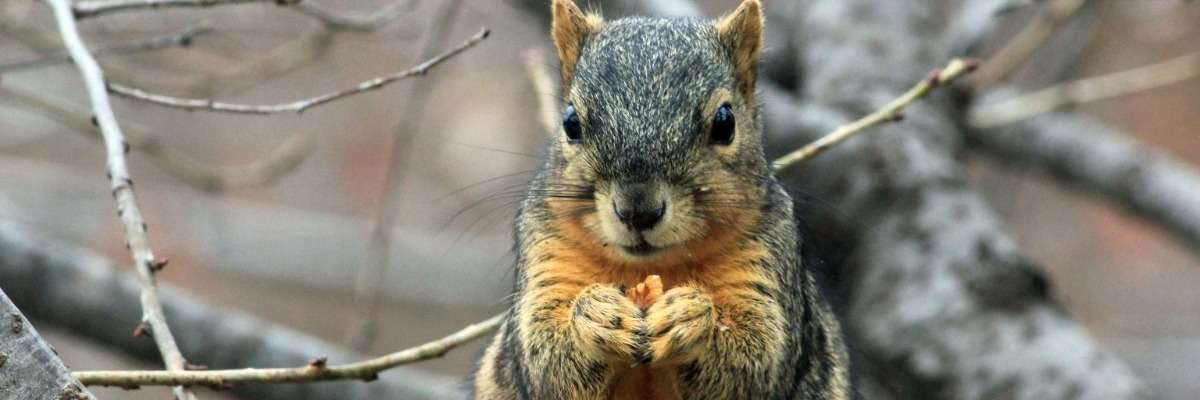 The relationship between food scarcity and caching in fox squirrels
