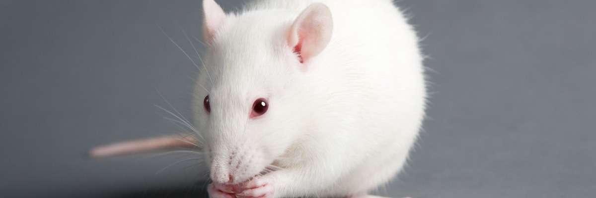 Using gait analysis to analyze Parkinson's in rat model