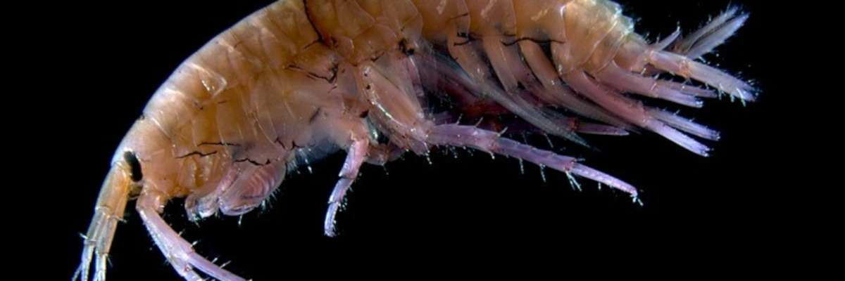 Nearly impossible to video track: small shrimp