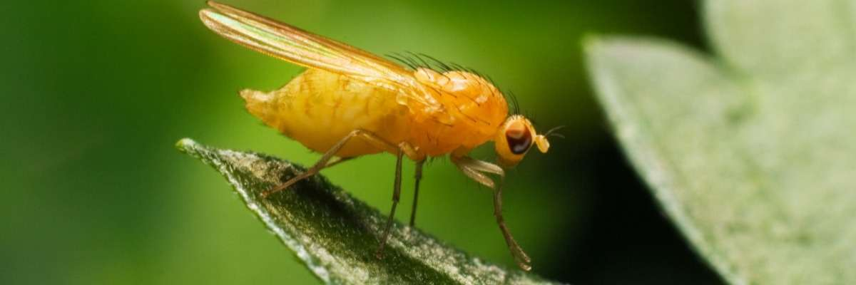 How fruit flies find your food (and mates!)