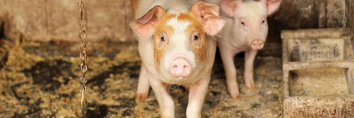 How to measure emotions in pigs