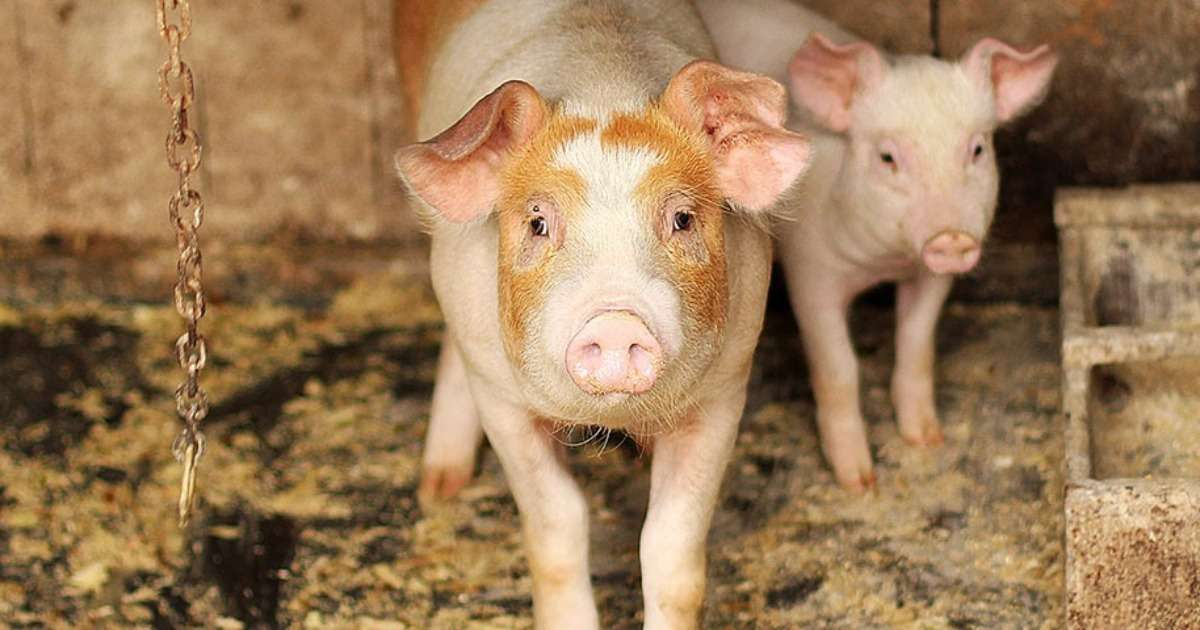 how-to-measure-emotions-pigs