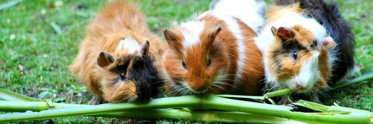 How wild cavies and domesticated guinea pigs differ