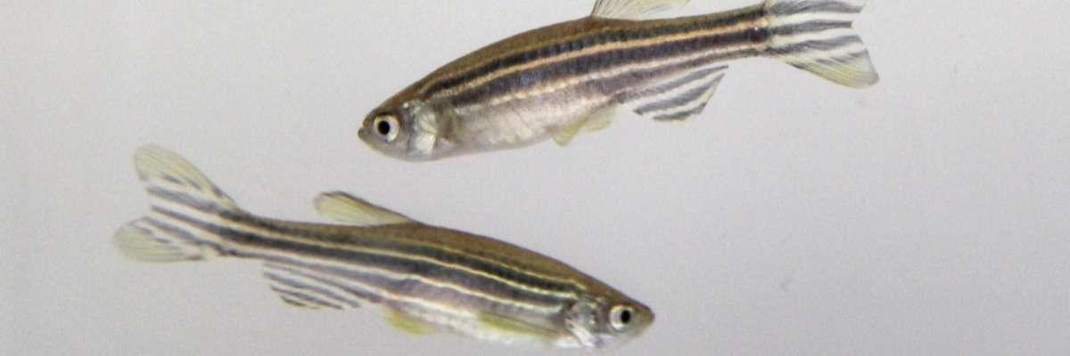 Inhibitory avoidance learning in zebrafish (Danio rerio)