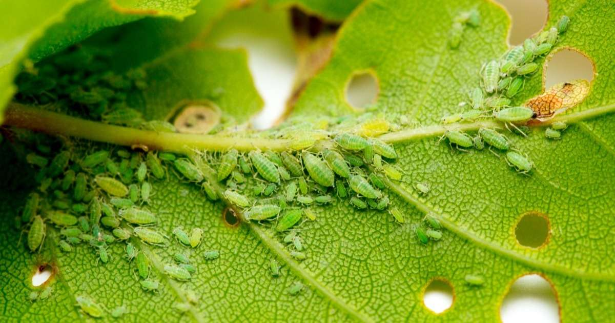 insect-resistance