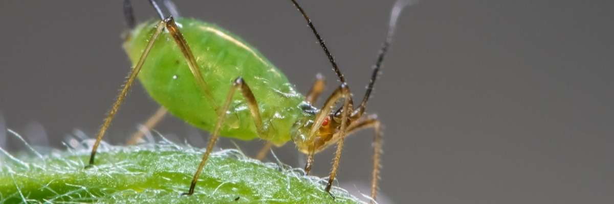 Identification of an aphid resistance gene in Arabidopsis